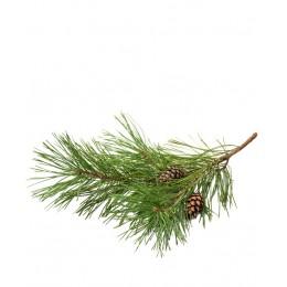 Ulei Esențial Pin Pur Organic ECOCERT 10 ml | Uleiul Vindecător