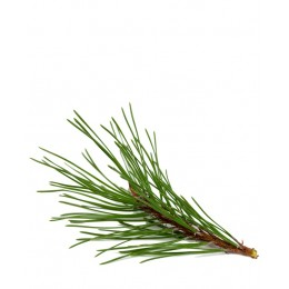 Ulei Esențial Arbore de Ceai Lămâios Pur Organic ECOCERT 10 ml | Uleiul Dezinfectant